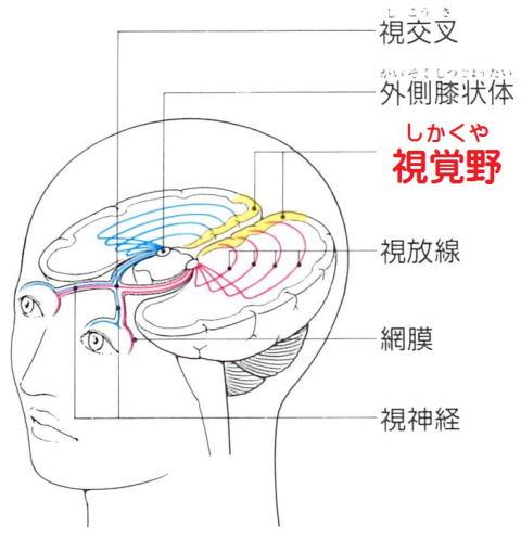 川越市の頭痛・肩こり専門整体「いぶきカイロプラクティック」目の奥の痛み・重さに関係ある視覚野