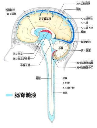 川越市の頭痛・肩こり専門整体「いぶきカイロプラクティック」首のゆがみが脳脊髄液の流れを悪くする
