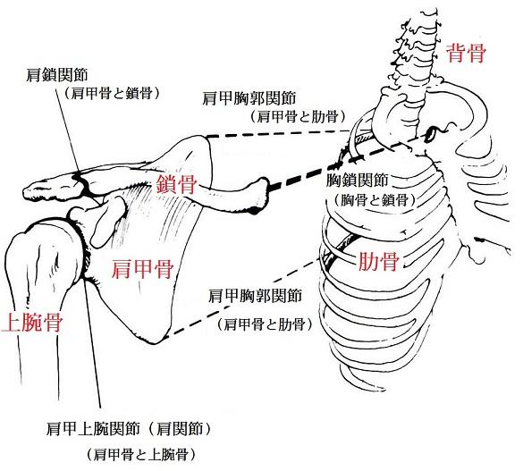 肩甲帯と肩甲骨