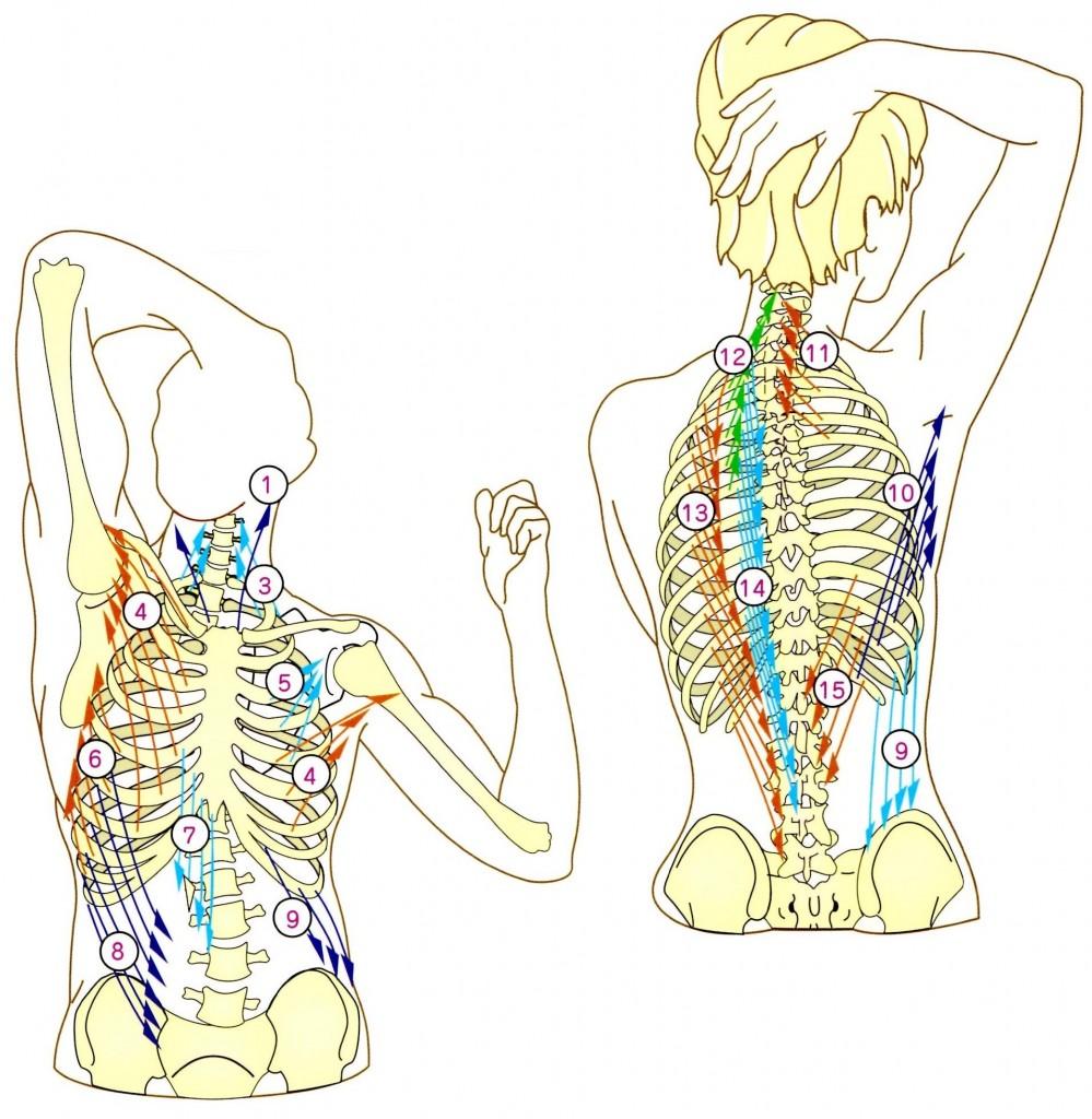 肋骨と呼吸筋
