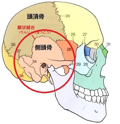 頭蓋骨(側面)