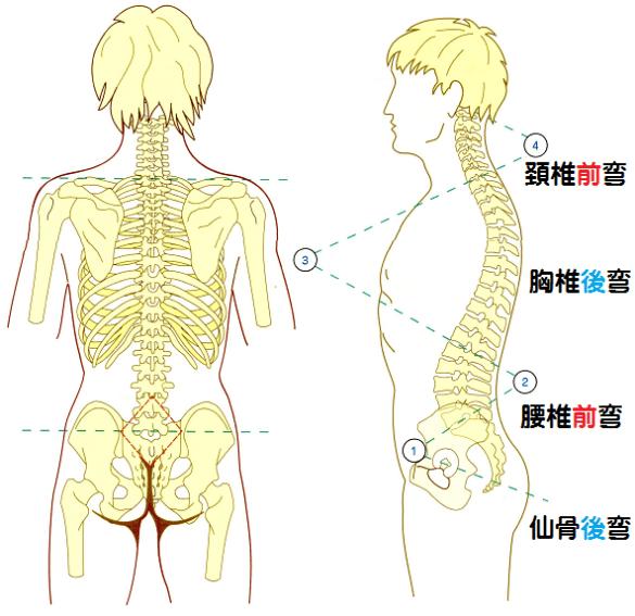 背骨のカーブ