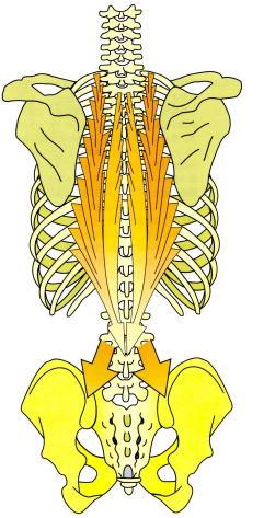 背部と腰部の筋肉