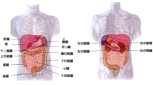 腰痛と内臓・お腹の関係