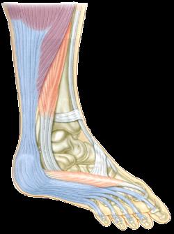 足底腱と足ゆび