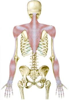 背部と上肢の筋肉