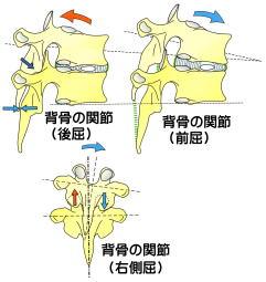背骨の関節の動き