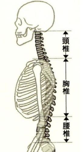 背骨の正常なカーブ